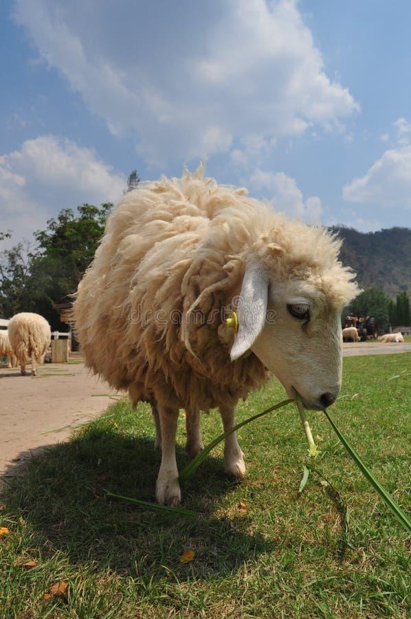 Sheeps som äter greass royaltyfria foton