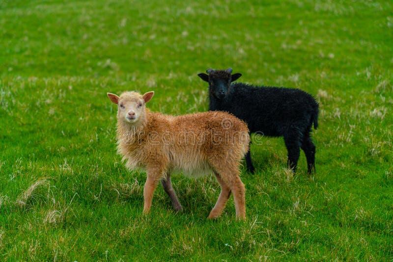 Sheeps som betar gräs i Mykines arkivbild