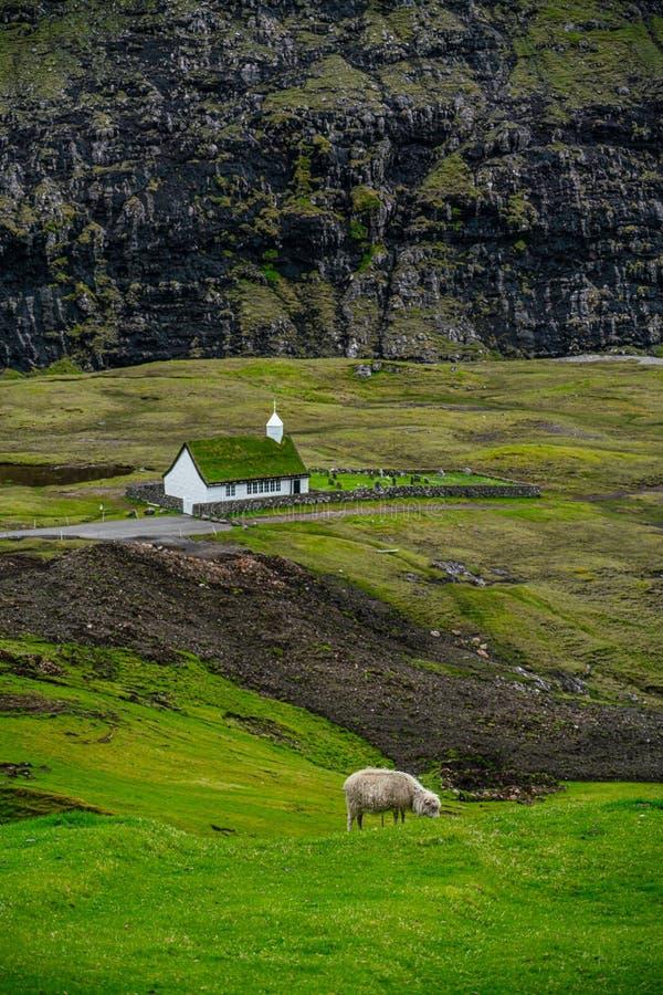 Sheeps som betar gräs i Saksun royaltyfria bilder