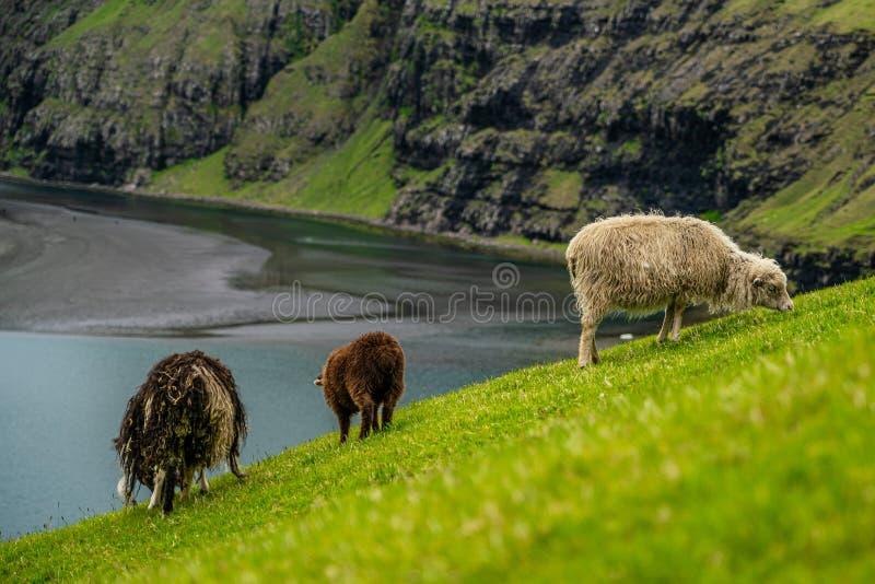 Sheeps som betar gräs i Saksun royaltyfria foton