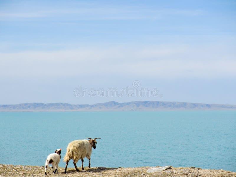 Sheeps som står nära berg sjön på Qinghai, Kina royaltyfri fotografi