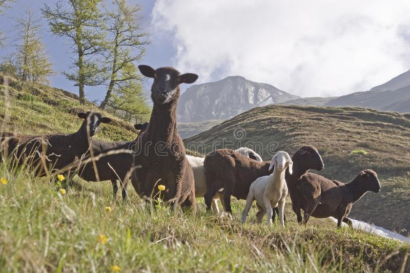 Sheeps in South Tyrol near Sterzing. A herd of black sheep grazes in summer on the mountain meadows of the Pfitscher valley in the Zillertal Alps stock photography