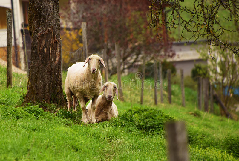 Sheeps in spring time stock photo