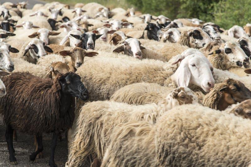 Sheeps stado fotografia royalty free