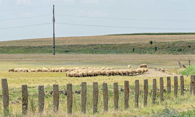 Sheeps stall, flock eating green grass, countryside fence.  royalty free stock photography