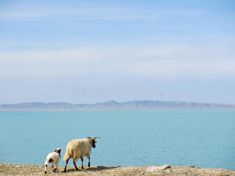 Sheeps standing near the Mountain lake at Qinghai, China royalty free stock photography