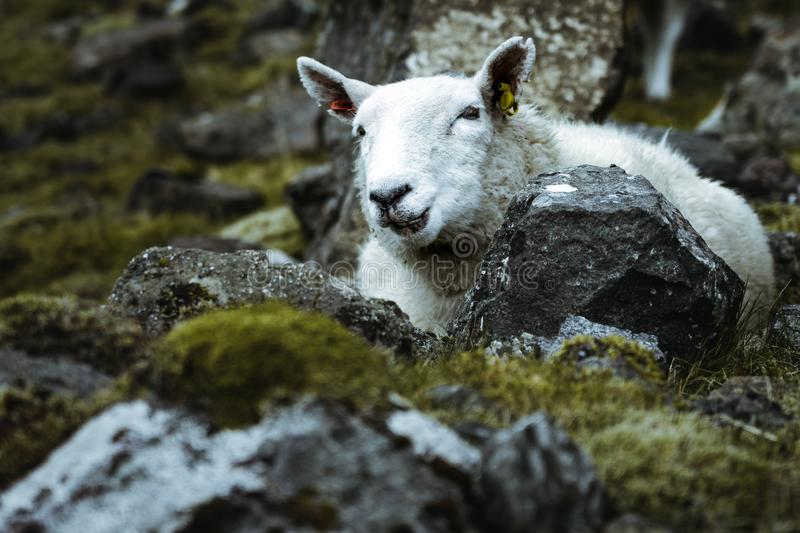 Sheeps in the vastness of Scotland royalty free stock photography