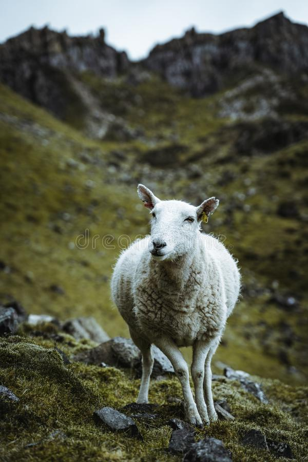 Sheeps in the vastness of Scotland royalty free stock images