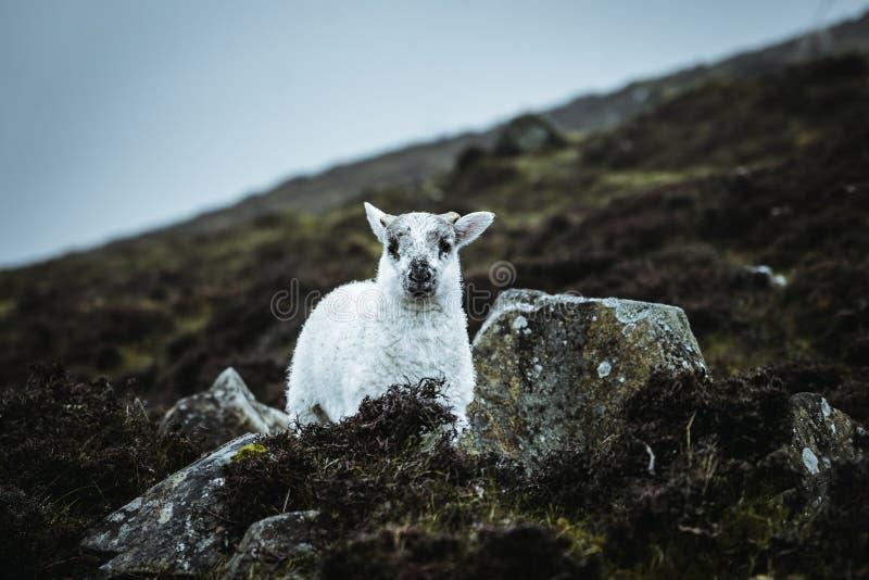 Sheeps in the vastness of Scotland stock image