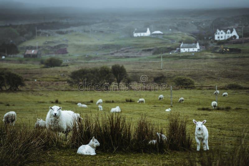 Sheeps in the vastness of Scotland stock photo