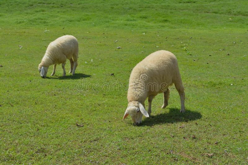 Sheeps w łące obraz stock