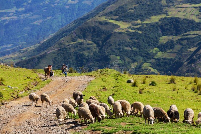 Sheeps w Boliwia zdjęcia royalty free