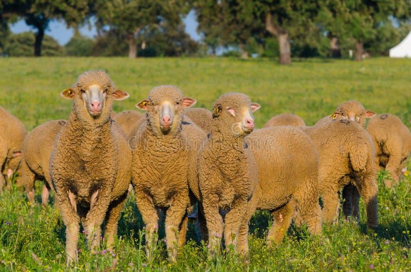 sheeps w pola patrzeć zdjęcie stock