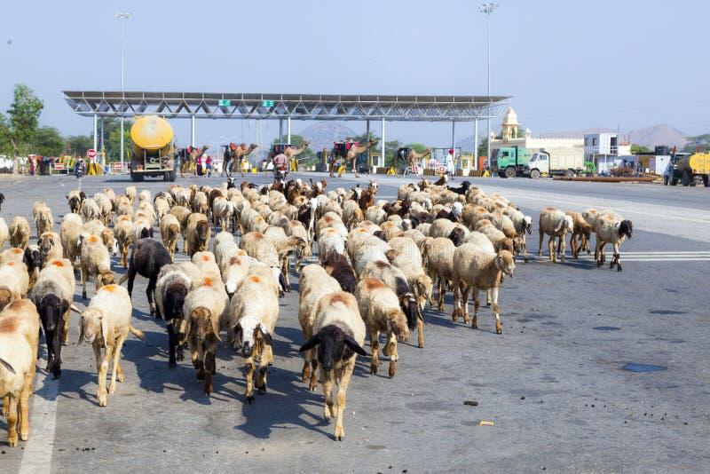 Sheeps w stada skrzyżowaniu zdjęcia royalty free