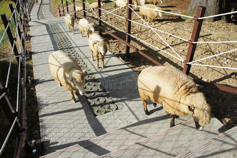 Sheeps on grassland stock photography
