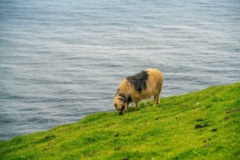 Sheeps wypasa trawy w Mykines zdjęcia stock