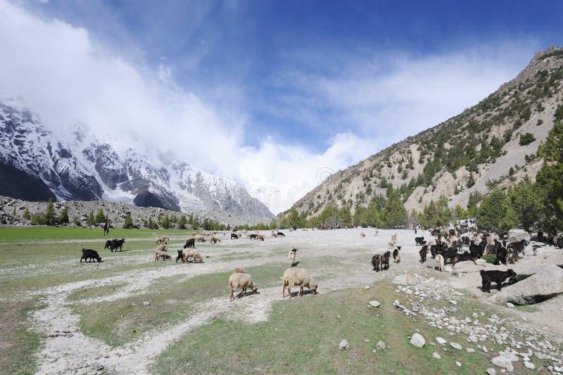 Sheeps y cabras en alto pasto fotografía de archivo libre de regalías