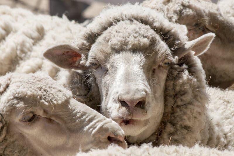 Sheeps zakończenie Puerto Madryn, Argentyna - obraz stock