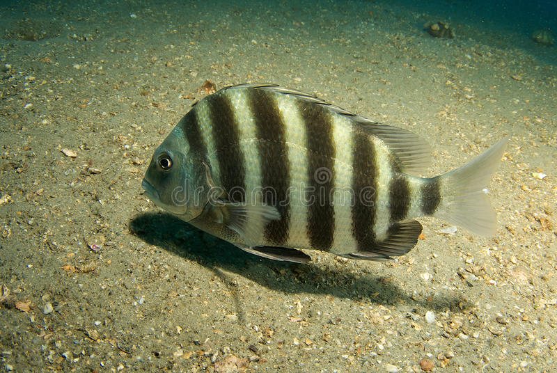sheepshead royaltyfri bild