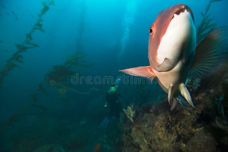 Sheepshead com mergulhador e alga fotos de stock royalty free