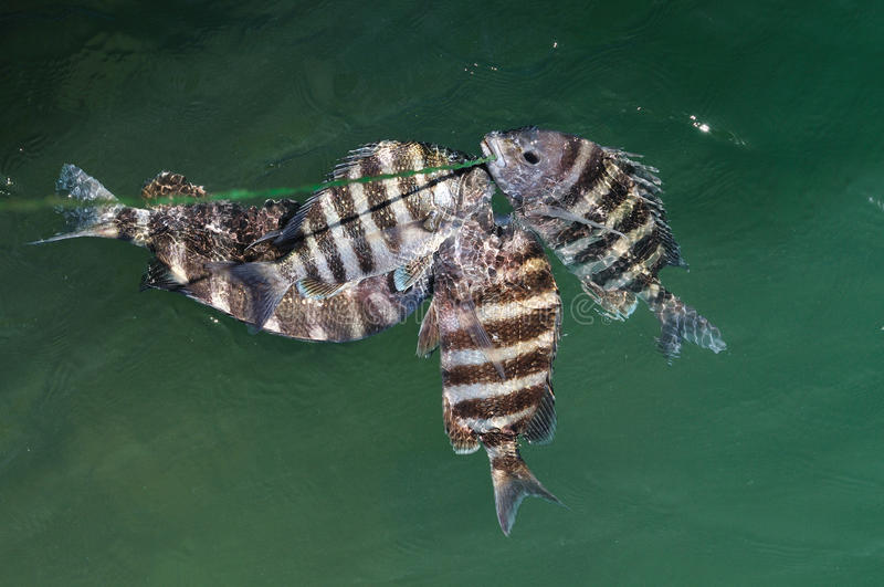 Sheepshead fish Archosargus probatocephalus. The sheepshead is a good eating fish. Its mouth is so hard, it can eats crustacean like crabs, barnacles and oysters stock photography