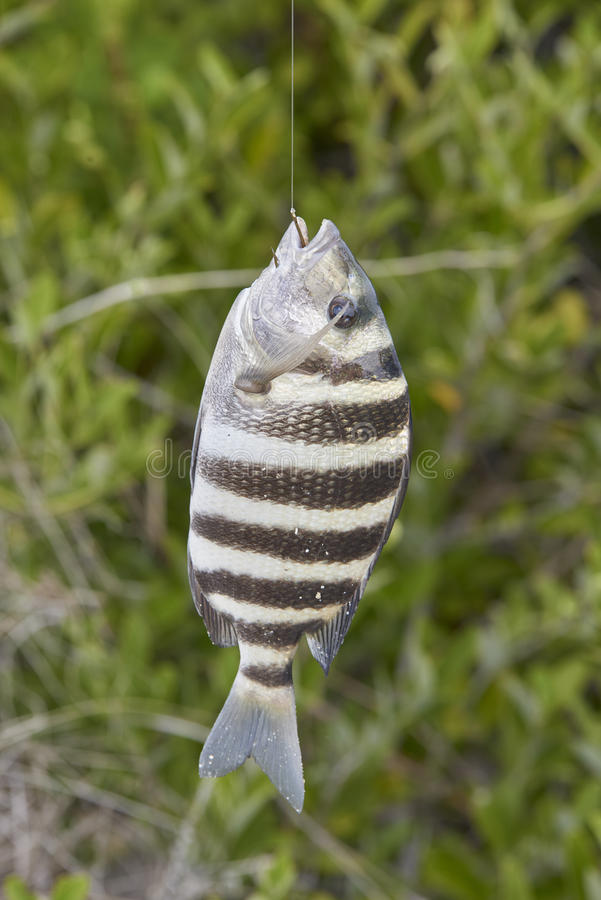 Sheepshead Fish. Just caught and being held by fisherman stock photo