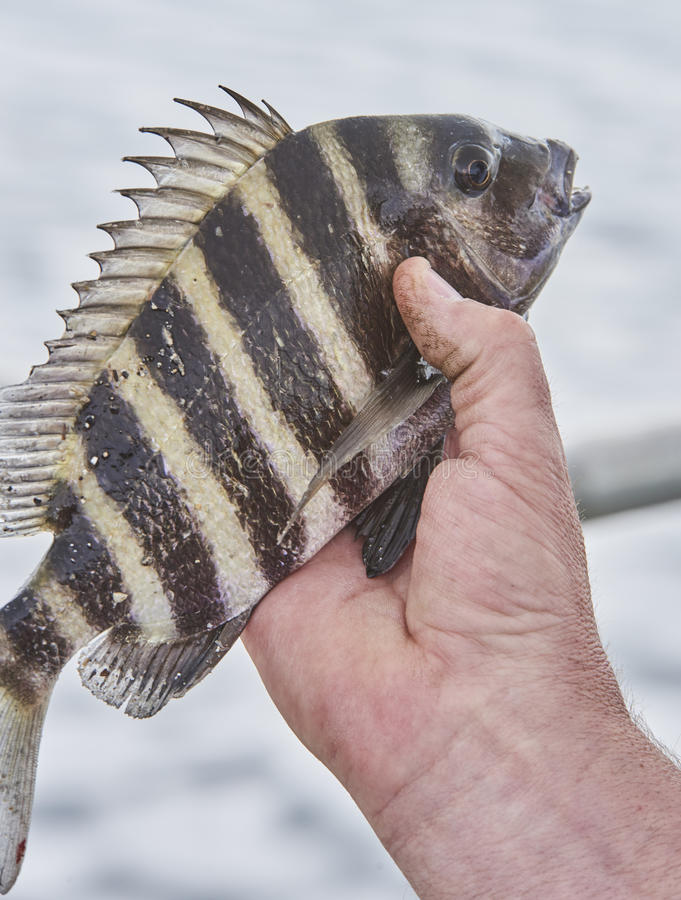 Sheepshead Fish. Just caught and being held by fisherman stock photography