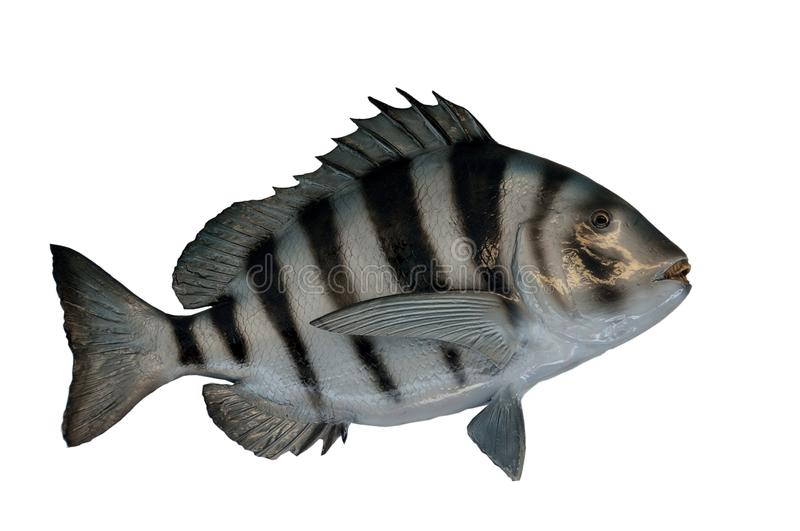 Sheepshead fish. Mounted and isolated on white background royalty free stock photos