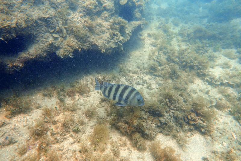 Sheepshead fish swimming in the ocean. An underwater photo of a Sheepshead fish swimming among the rock and coral reefs in the clear blue ocean stock photo