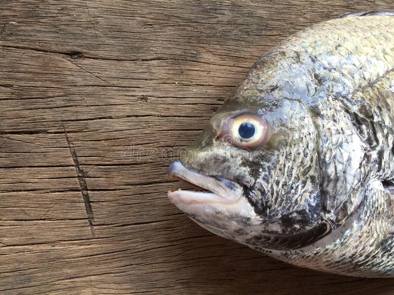 The sheepshead, scup, and red/black seabream, Pagrus major.  stock photos