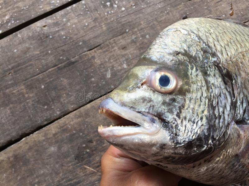 The sheepshead, scup, and red/black seabream, Pagrus major.  royalty free stock photos