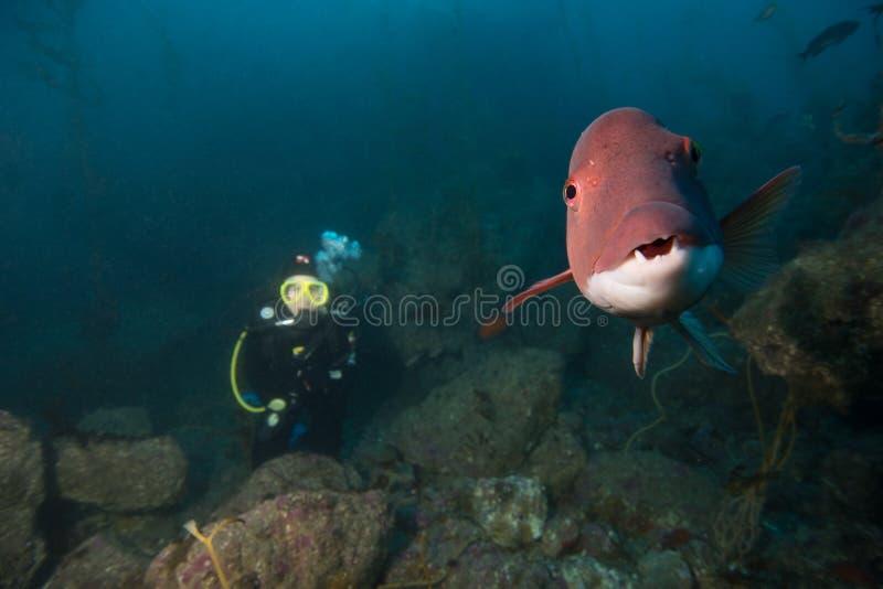 Sheepshead z nurkiem i Kelp fotografia royalty free