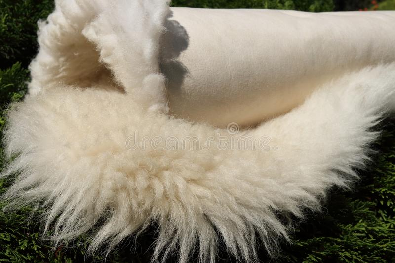Sheepskin has long white wool fleece. Natural genuine leather is rolled in roll on green shrub outdoors. Animal sheep skin with beige surface texture and light stock photos