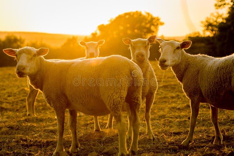 Sheepslantgårddjur som är bakbelysta i solnedgången i Frankrike arkivbilder