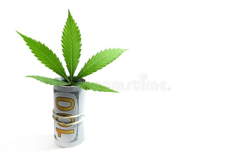 A sheet of cannabis sticks out of a hundred-dollar bill folded into a tube. Isolated, copy space. The concept of Money and marijua. A sheet of cannabis sticks stock photos