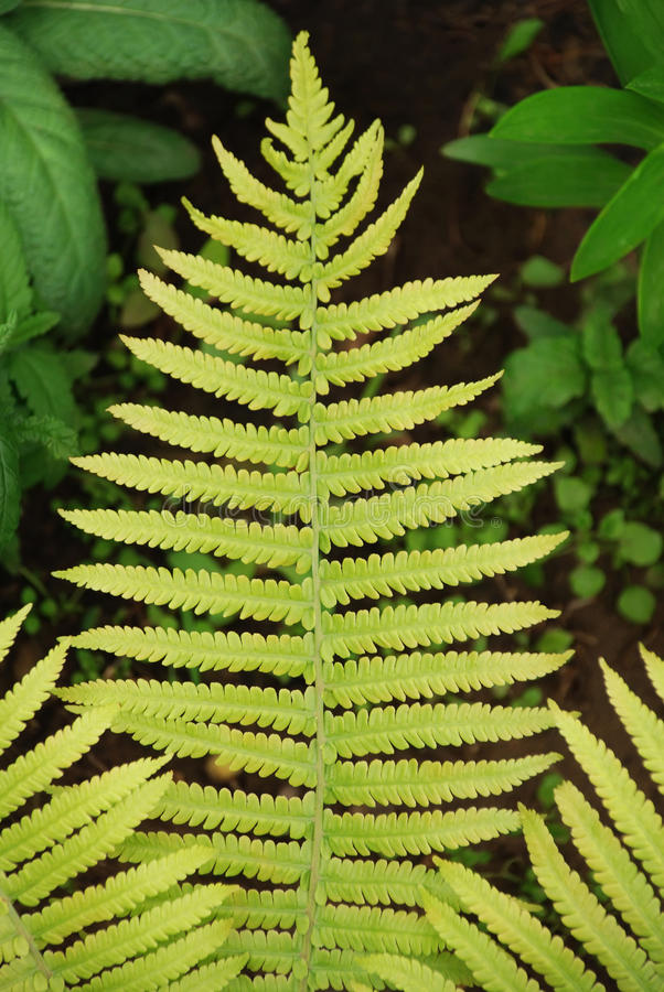 Download Sheet fern stock photo. Image of gardening, photosynthesis - 18157420