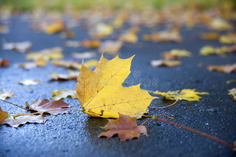 The sheet of a maple, lying on the earth. stock image