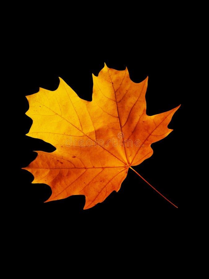 Download Sheet  tree  maple stock image. Image of black, background - 11177045