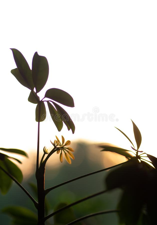 Shefflerainstallatie tegen een zonsondergang wordt geplaatst die stock afbeelding