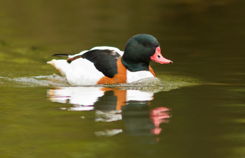 Download Shelduck stock photo. Image of lake, carolina, drake - 27595900