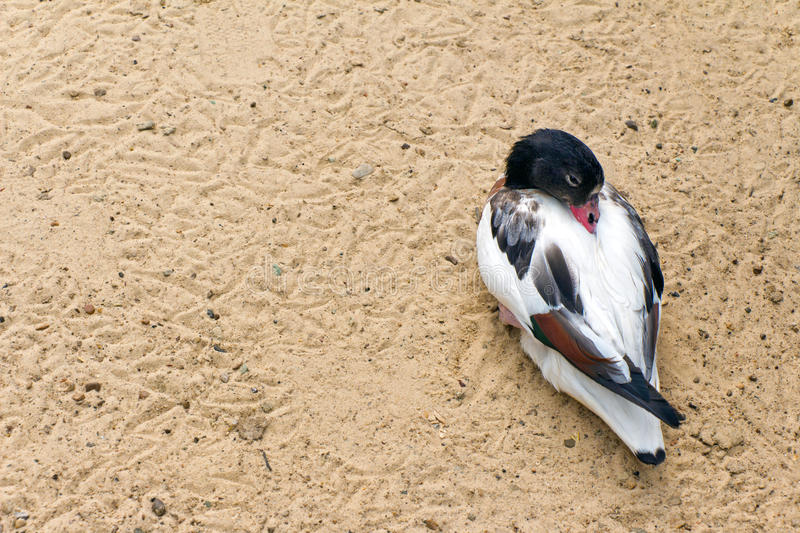 Shelduck (black and white duck, goose) relax and sleeping on the. Sand (Latin: Tadorna tadorna; class birds; squad anseriformes; family duck stock photography