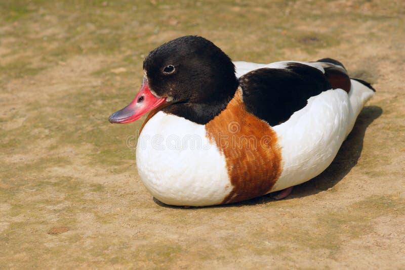 Download Shelduck común imagen de archivo. Imagen de wigeon, animales - 41921109