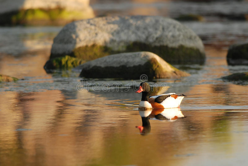 Shelduck in bronze. Shelduck swimming in a bronze evening light royalty free stock photography