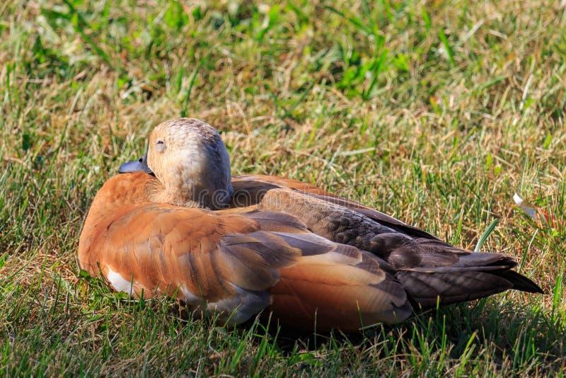 Shelduck rubicundo que duerme en la hierba en la orilla del lago fotos de archivo