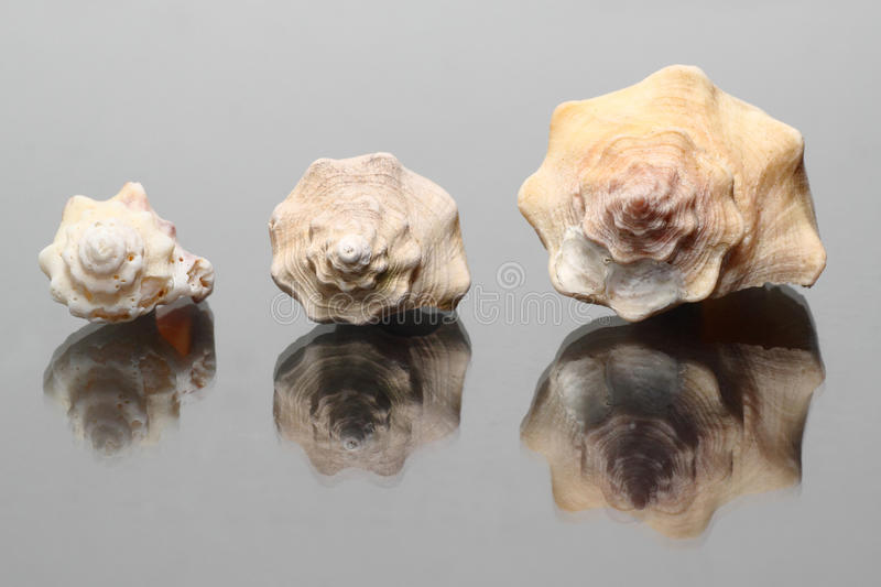 Download Shell stock image. Image of isolated, conch, animals - 10184969