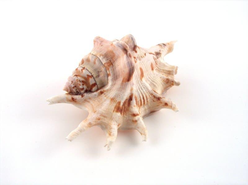 Shell Fotografia Stock Gratis