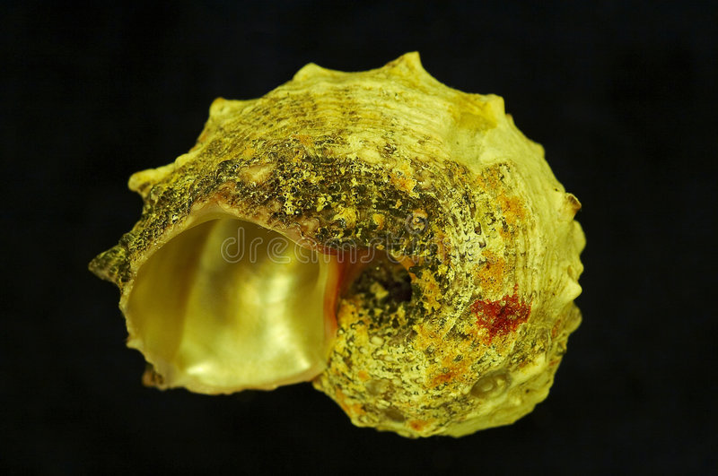 Shell. The gold color shell in the dark royalty free stock image