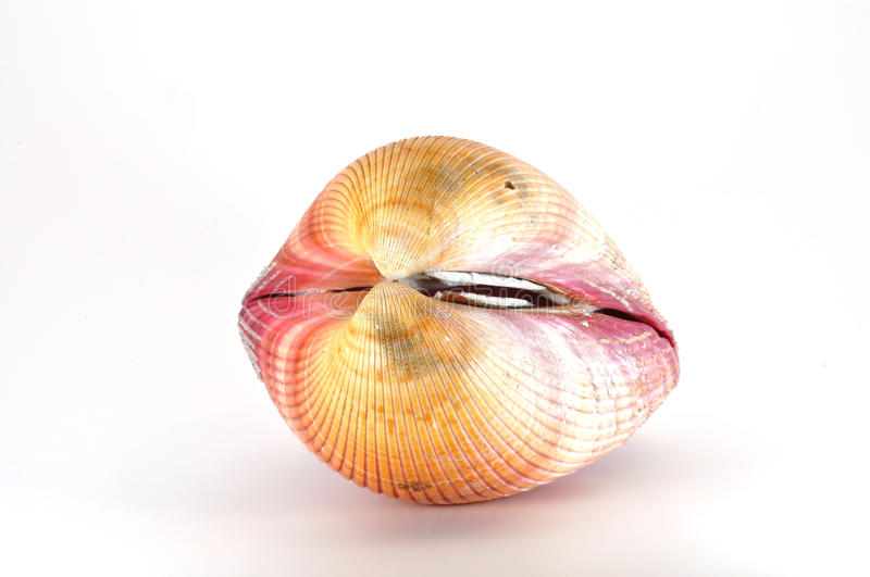 Download Shell stock photo. Image of closed, pink, shell, halves - 15466640
