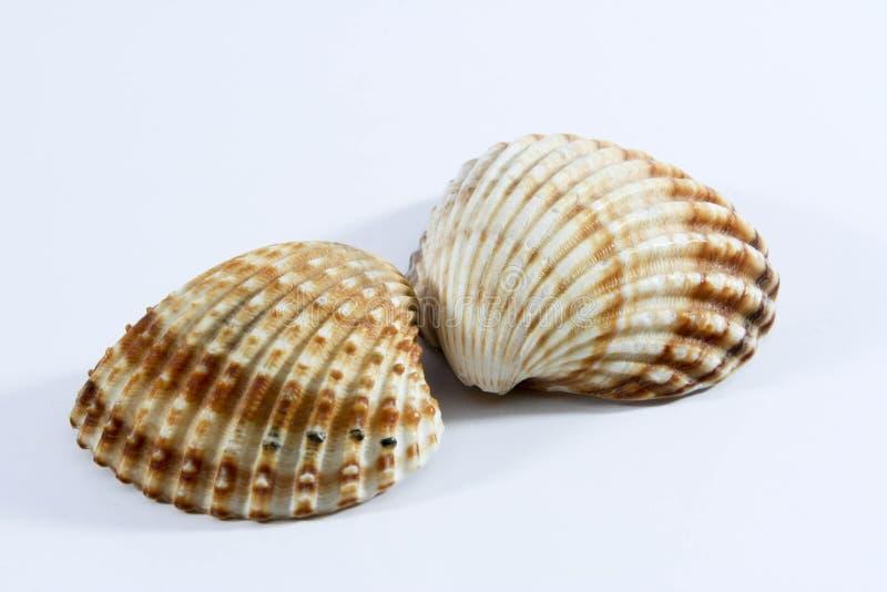 Shell royalty free stock photos