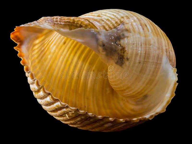 Κίτρινη και καφετιά θάλασσα Shell στοκ φωτογραφίες με δικαίωμα ελεύθερης χρήσης